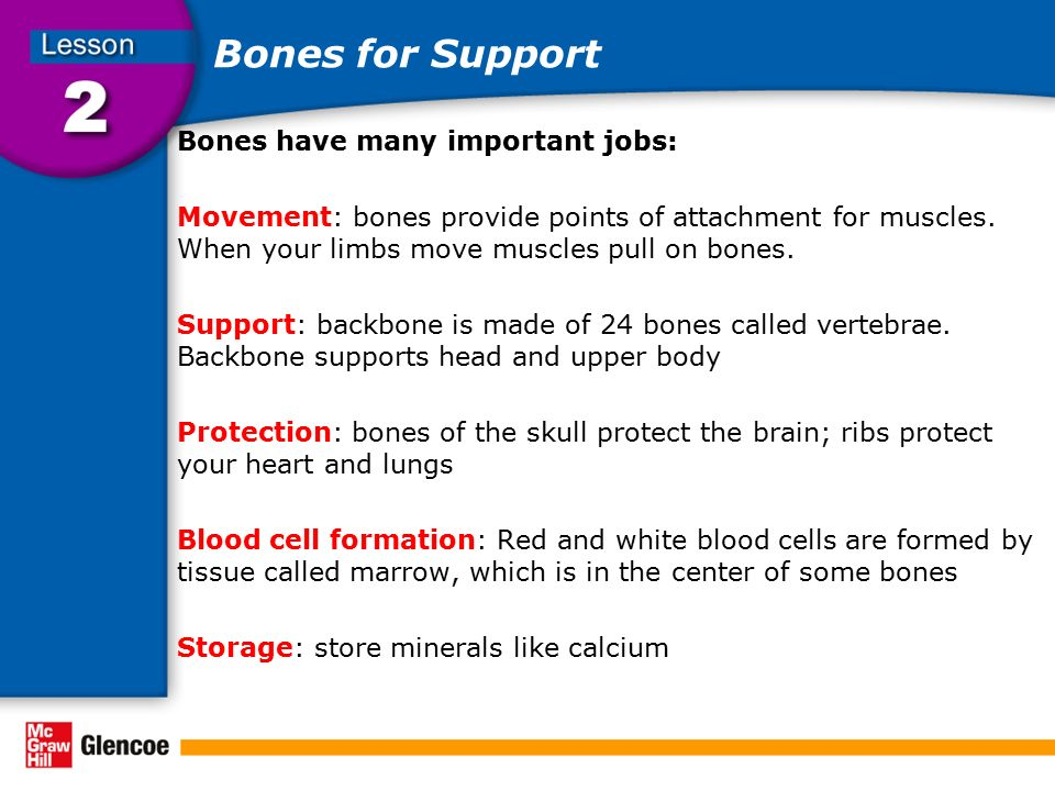 Bones for Support Bones have many important jobs: