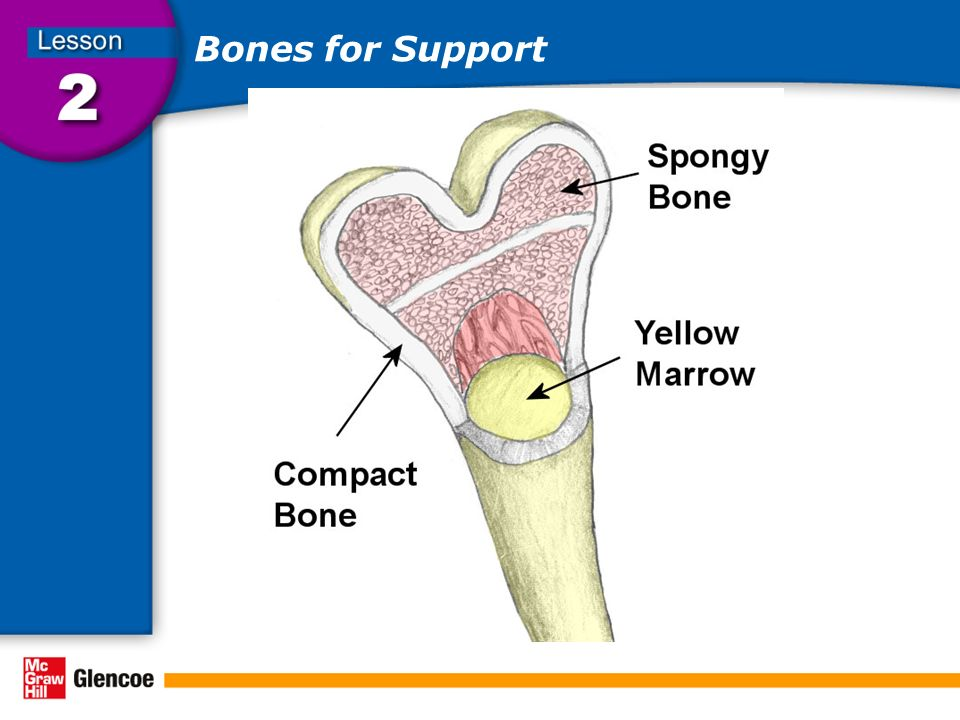 Bones for Support Besides supporting and protecting the body, the bones also store calcium and other minerals and make blood cells.