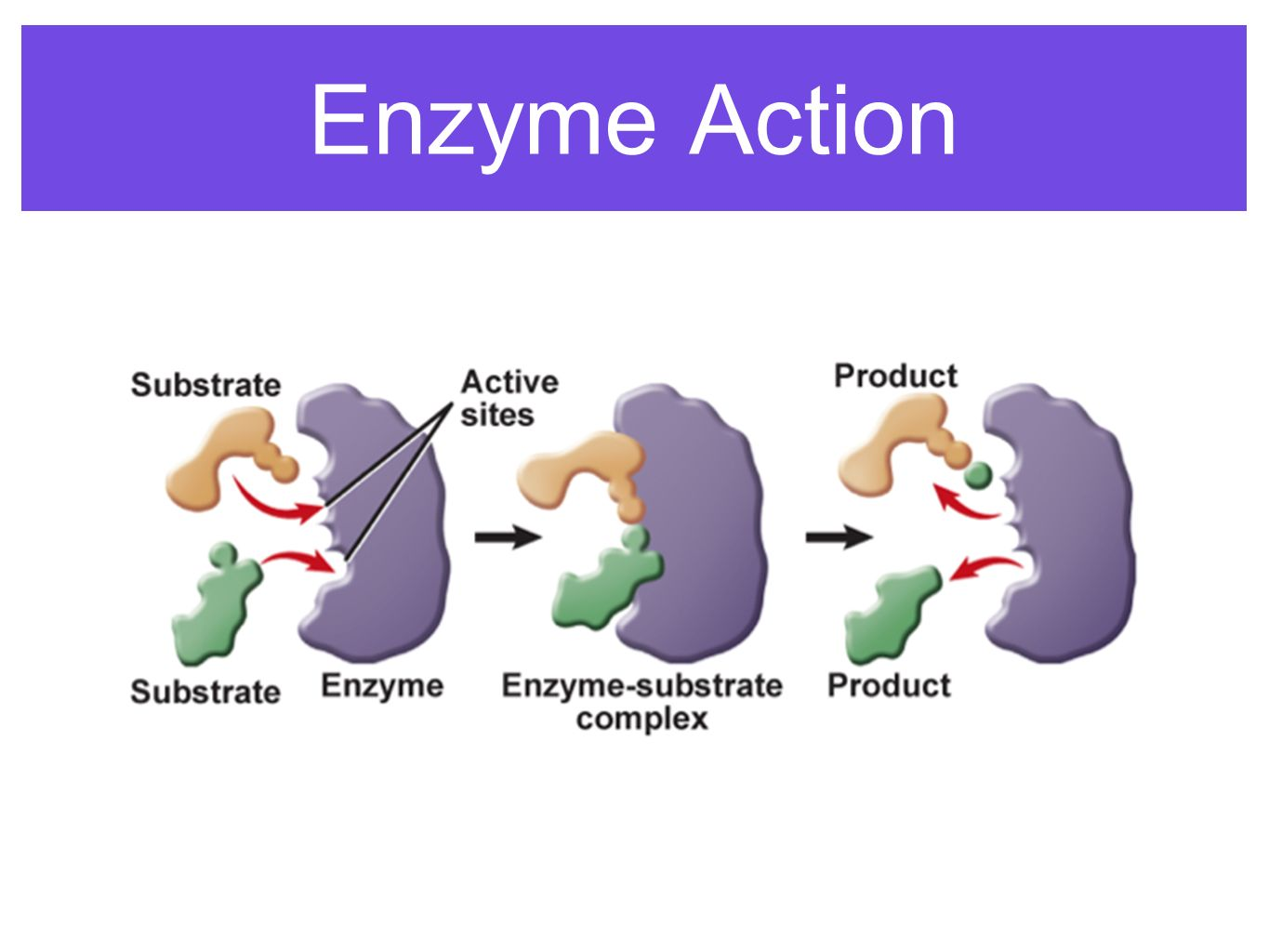 enzyme action The single most important property of enzymes is the ability to increase the rates of reactions occurring in living organisms, a property known as catalytic activitybecause most enzymes are proteins, their activity is affected by factors that disrupt protein structure, as well as by factors that affect catalysts in general.