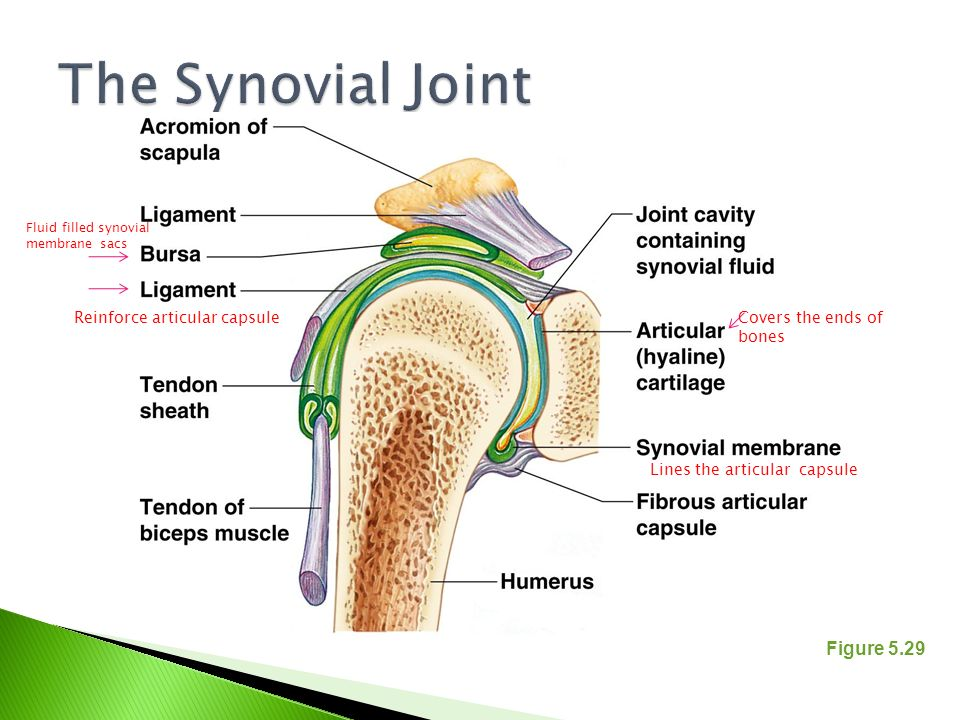 The Synovial Joint Figure 5.29 Reinforce articular capsule