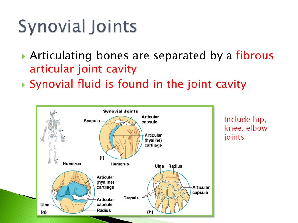 Synovial Joints Articulating bones are separated by a fibrous articular joint cavity. Synovial fluid is found in the joint cavity.
