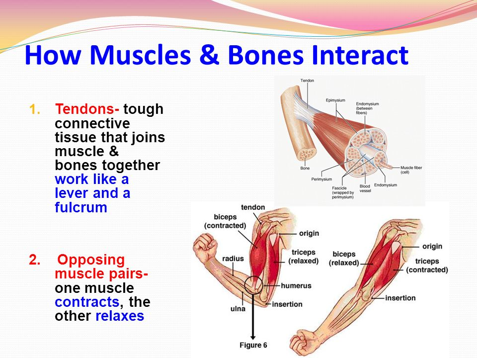 bones and muscles essay Free sample essay on human anatomy and physiology: tracing a nerve impulse specify which muscles are pulling on which bones and what type of joints are involved.