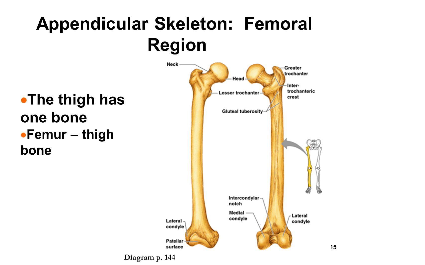 Femur bone diagram