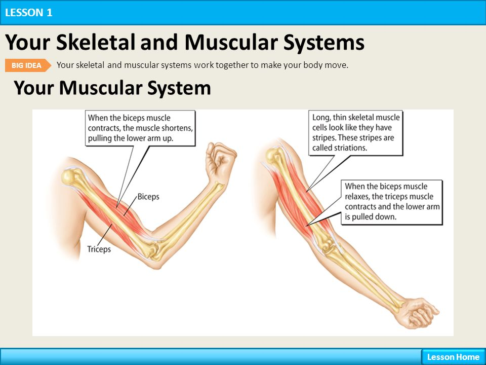 your body systems lesson 1 your skeletal and muscular systems ppt video online download. Black Bedroom Furniture Sets. Home Design Ideas