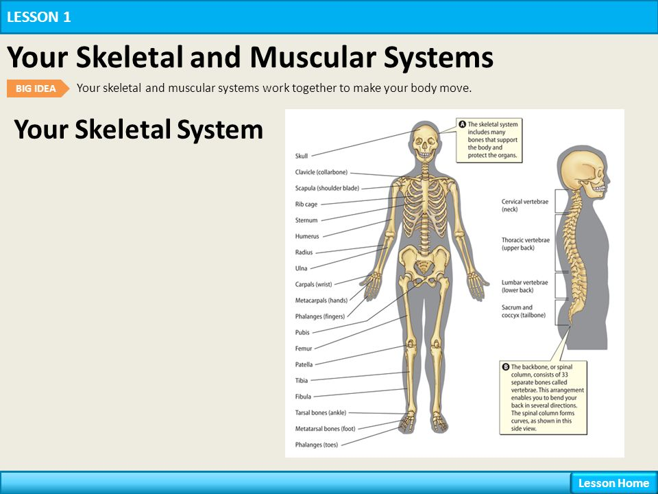 skeletal and muscular system relationship The muscular system holds the skeletal system in place if you had no muscles, you would be like a pile of sticks if you didn't have bones, you would be a large lump on the floor.