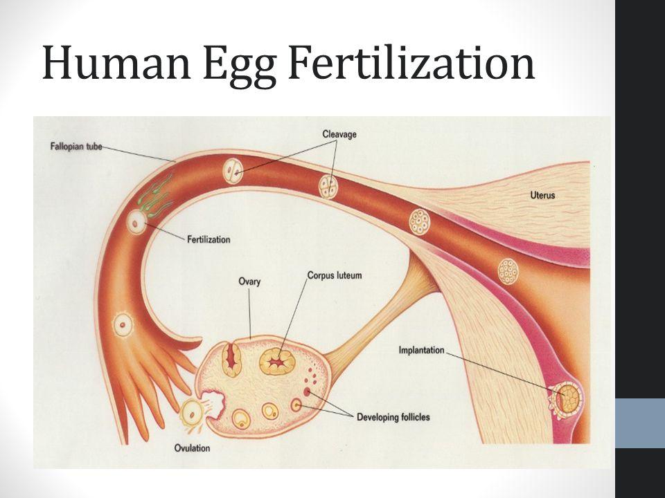 Human egg fertilization