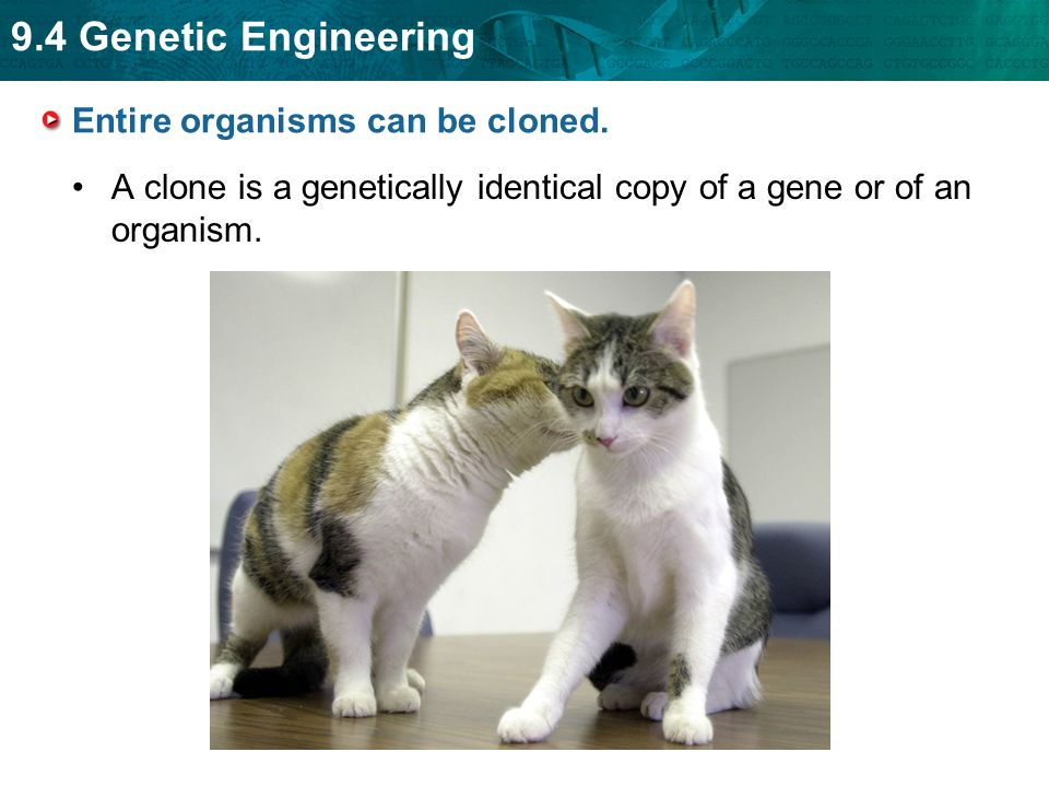 Entire organisms can be cloned.