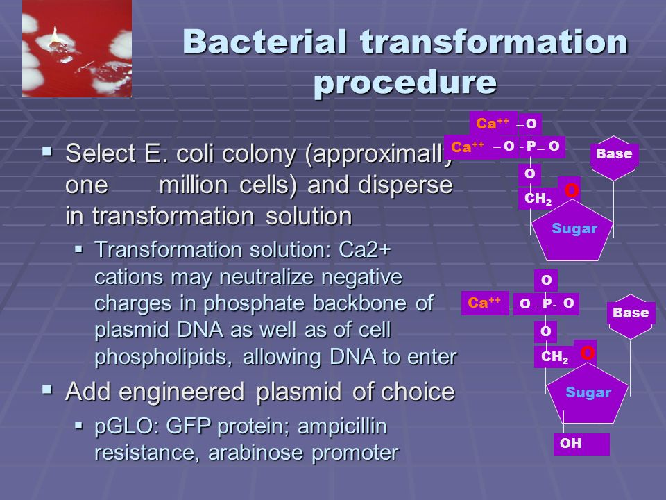bacterial transformation efficiency e coli with pglo Measurement transformation efficiency should be determined under conditions of cell excess the number of viable cells in a preparation for a transformation reaction may range from 2×10 8 to 10 11 most common methods of e coli preparation yield around 10 10 viable cells per reaction.