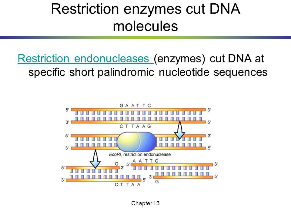 Restriction enzymes cut DNA molecules