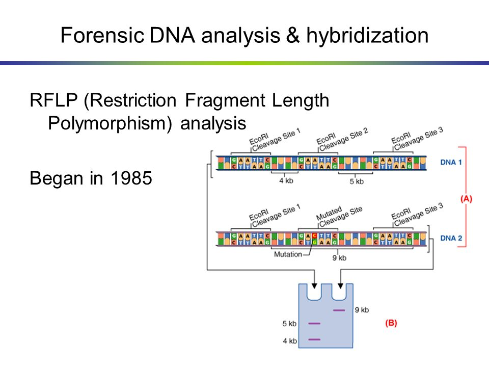 Forensic DNA analysis & hybridization