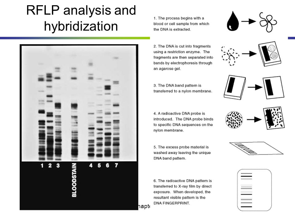 RFLP analysis and hybridization