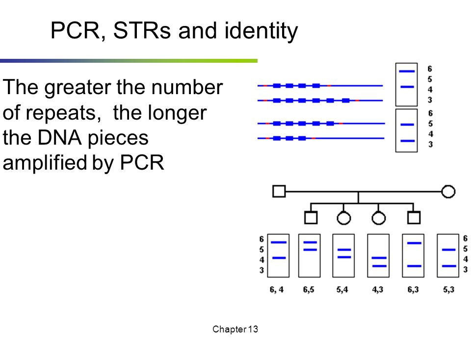 PCR, STRs and identity The greater the number of repeats, the longer the DNA pieces amplified by PCR.