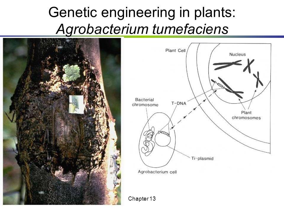 Genetic engineering in plants: Agrobacterium tumefaciens