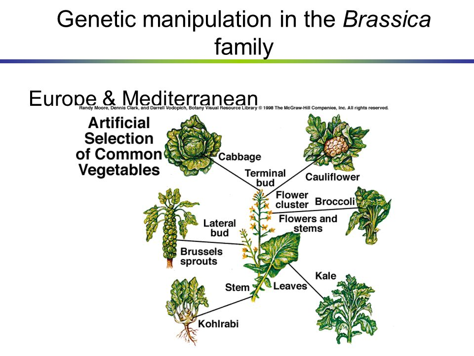 Genetic manipulation in the Brassica family