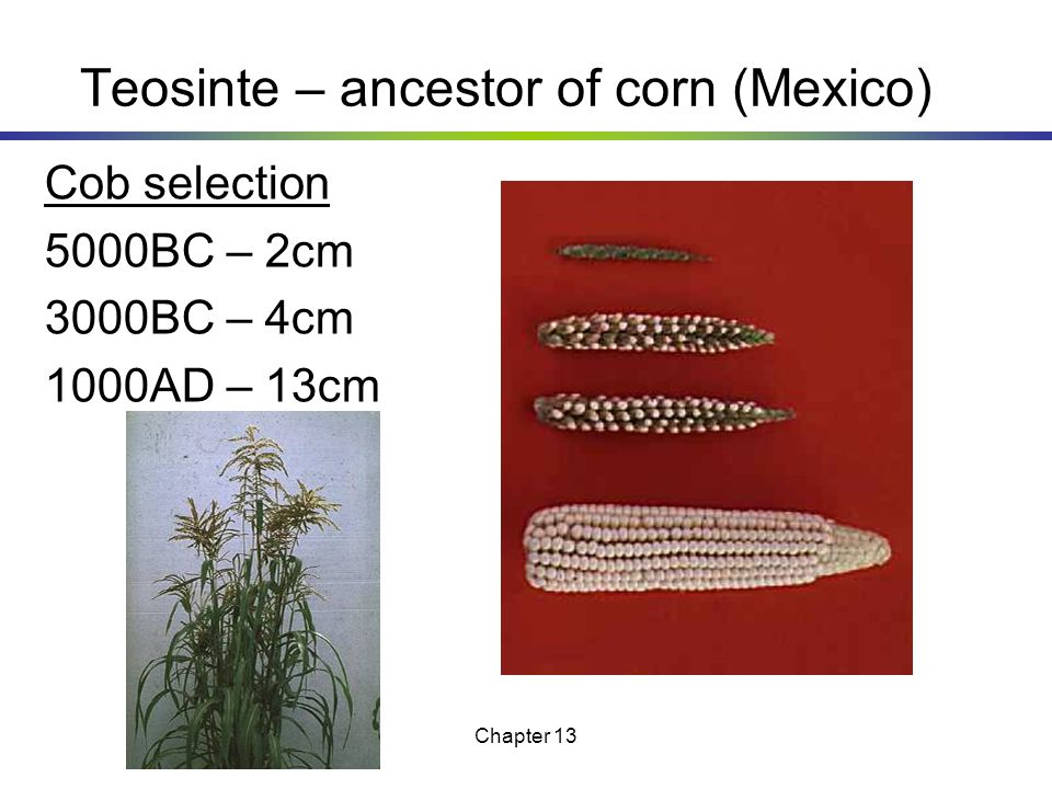 Teosinte – ancestor of corn (Mexico)