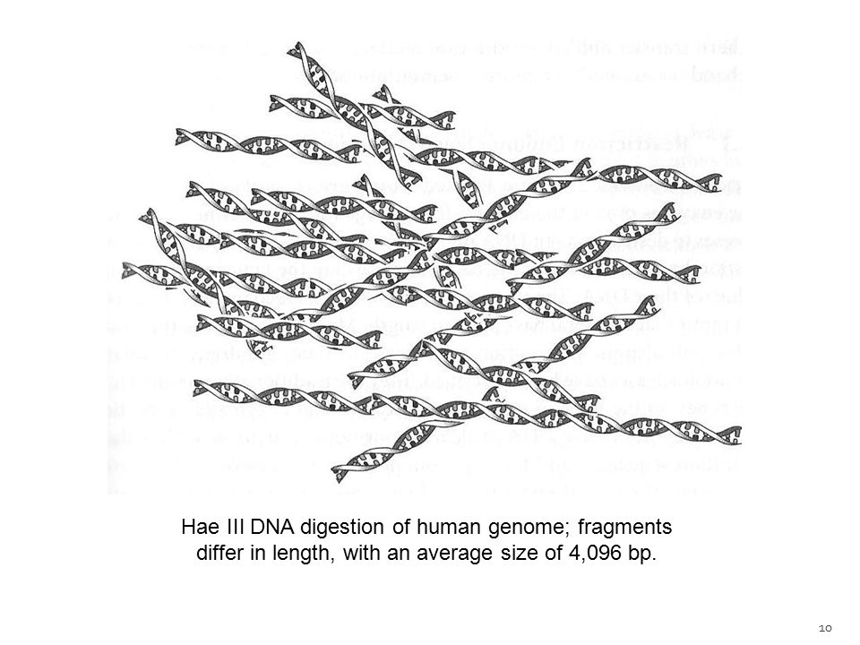 Hae III DNA digestion of human genome; fragments differ in length, with an average size of 4,096 bp.
