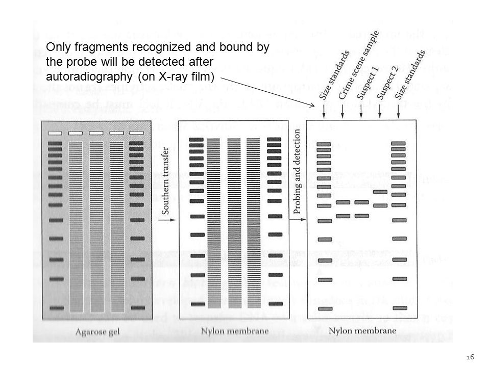 Only fragments recognized and bound by the probe will be detected after autoradiography (on X-ray film)