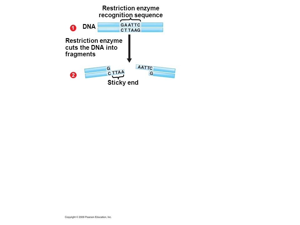 Restriction enzyme recognition sequence