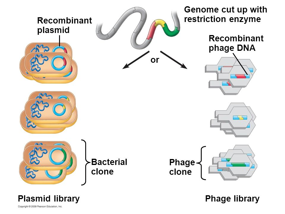 Genome cut up with restriction enzyme Recombinant plasmid Recombinant