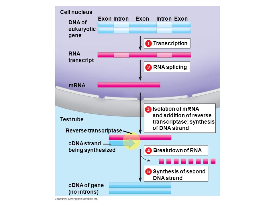 and addition of reverse transcriptase; synthesis of DNA strand