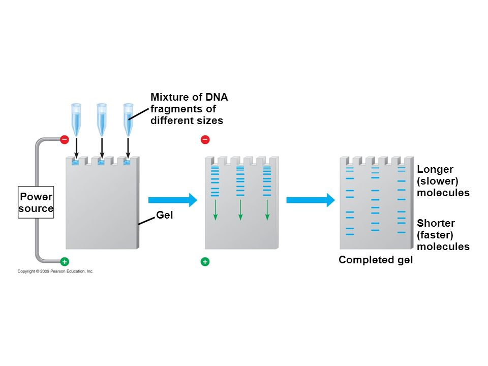 Mixture of DNA fragments of different sizes Longer (slower) molecules