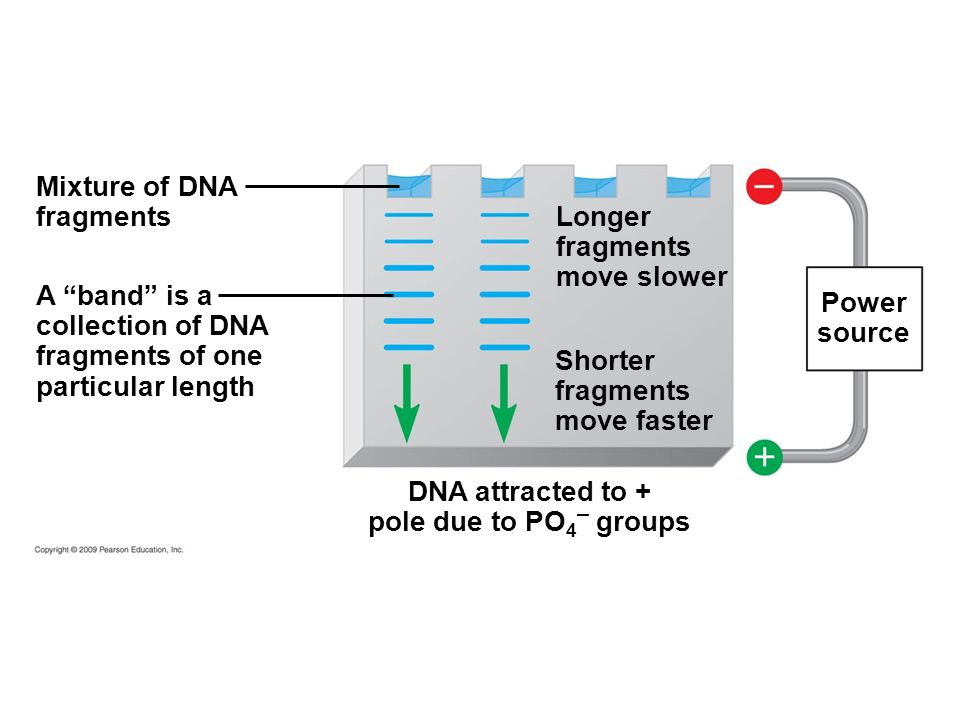 Mixture of DNA fragments. Longer. fragments. move slower. A band is a. collection of DNA. fragments of one.