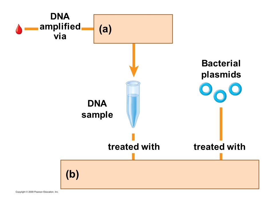 (a) (b) DNA amplified via Bacterial plasmids DNA sample treated with