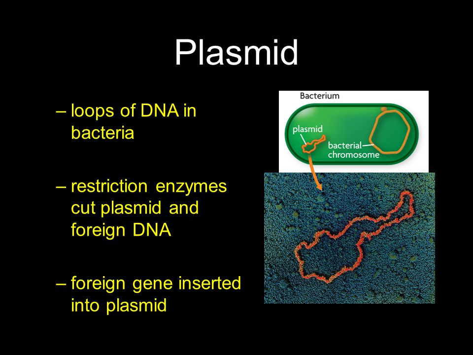 Plasmid loops of DNA in bacteria