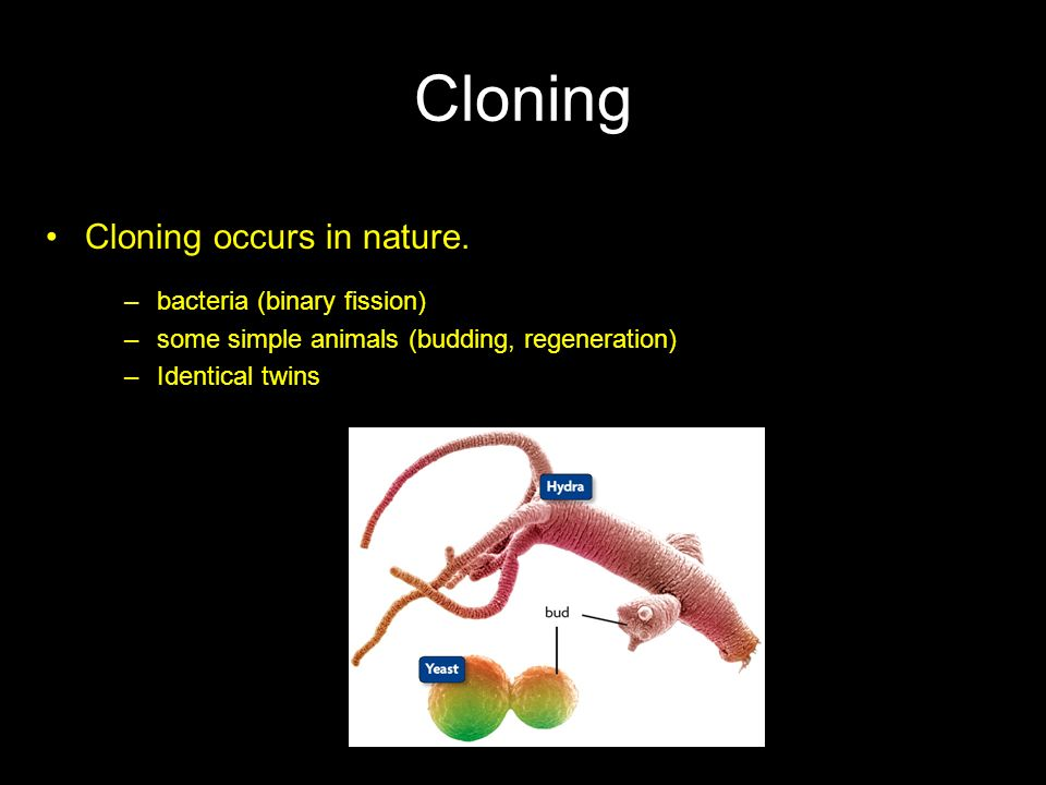 Cloning Cloning occurs in nature. bacteria (binary fission)