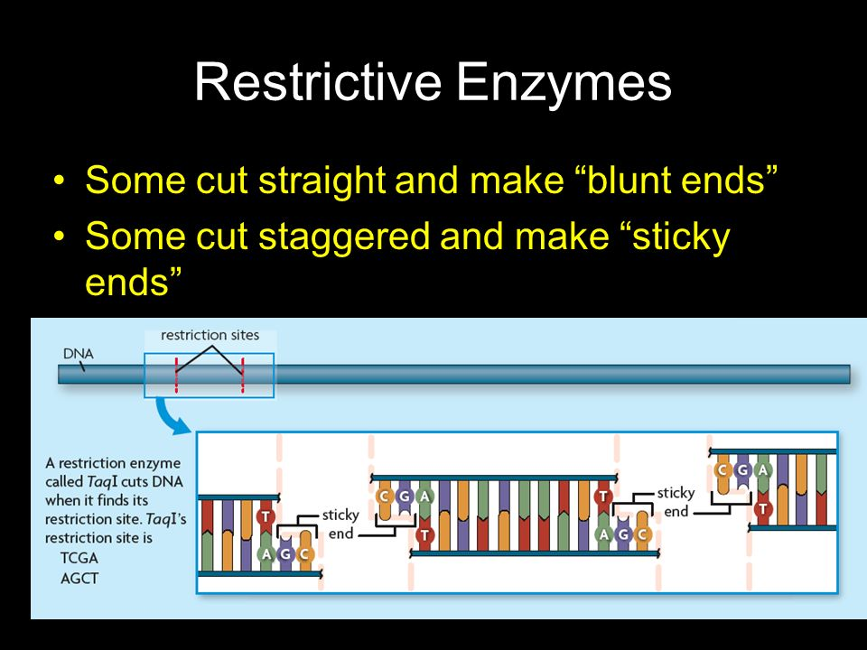 Restrictive Enzymes Some cut straight and make blunt ends