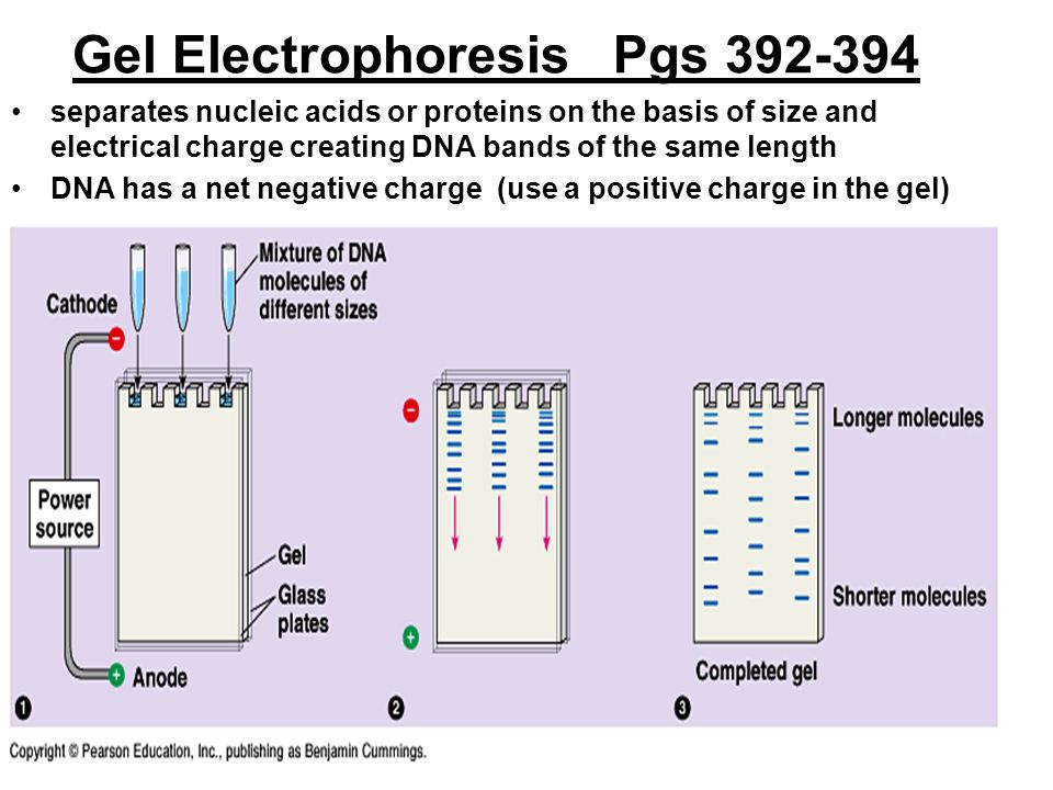 gel electrophoresis lab report Length of the lab samples will be analyzed using agarose gel electrophoresis genetically modified foods caught the attention of the us press when it was.