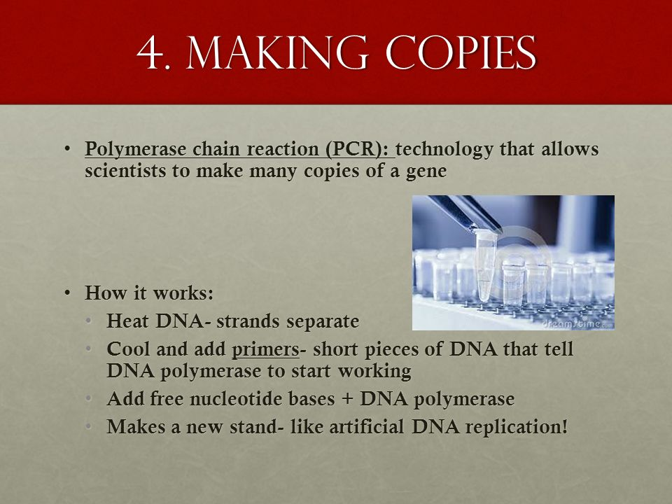 4. Making copies Polymerase chain reaction (PCR): technology that allows scientists to make many copies of a gene.