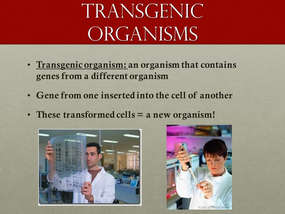 Transgenic organisms Transgenic organism: an organism that contains genes from a different organism.