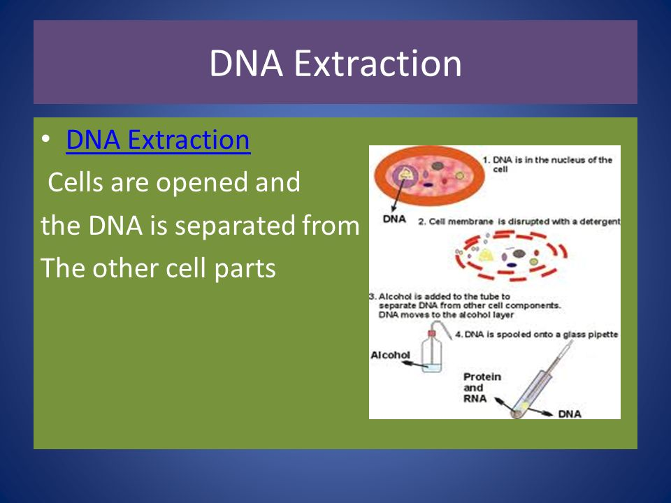DNA Extraction DNA Extraction Cells are opened and