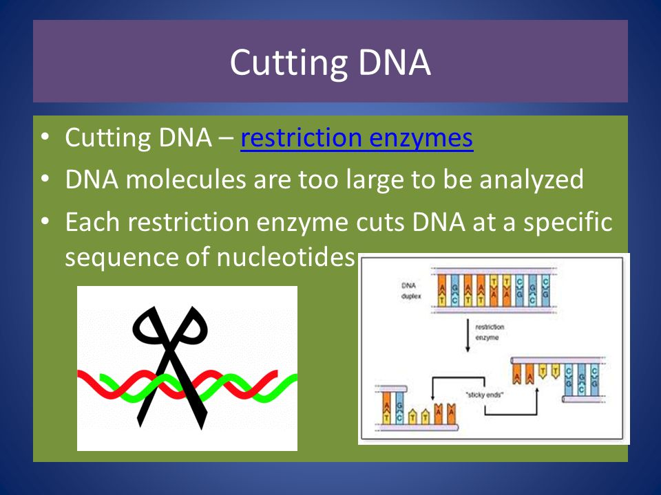 Cutting DNA Cutting DNA – restriction enzymes