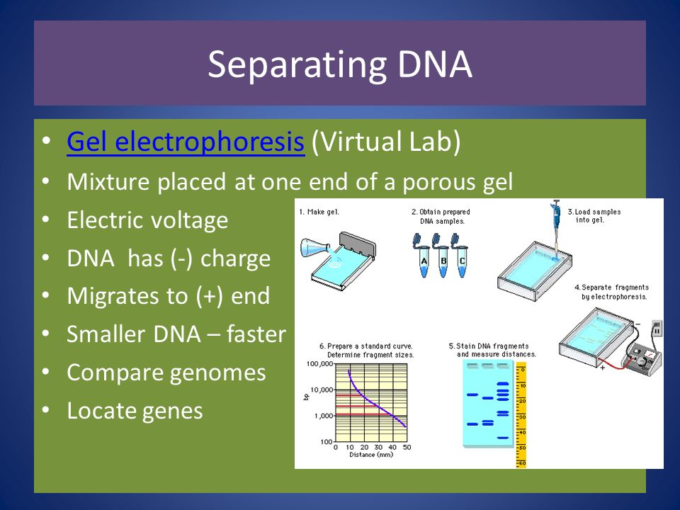Separating DNA Gel electrophoresis (Virtual Lab)
