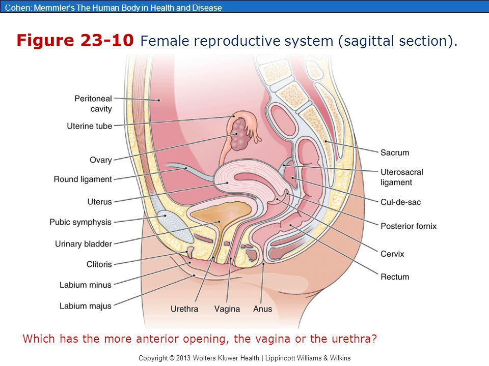 Chapter 23 the male and female reproductive systems ppt video figure 23 10 female reproductive system sagittal section ccuart Image collections