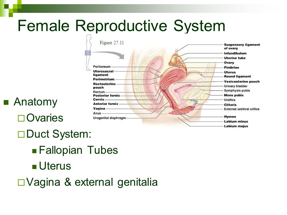 External Anatomy Of The Female Reproductive System Video 2790084