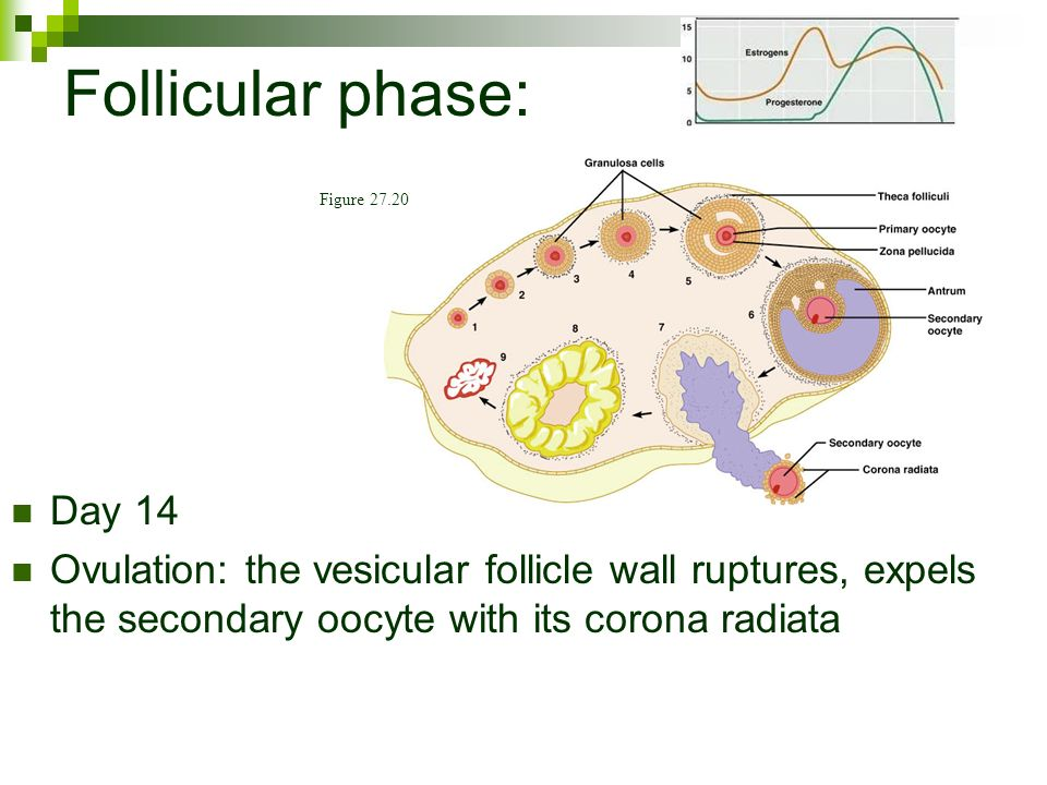 Vesicular Follicle Reproductive System Ch...