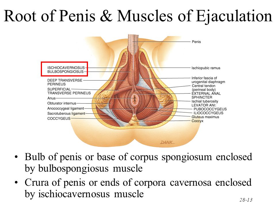 Muscles Of Penis 39