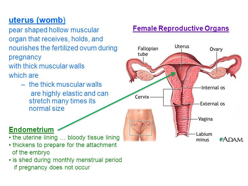 Average Size Of Female Organ Aksuyq Eye