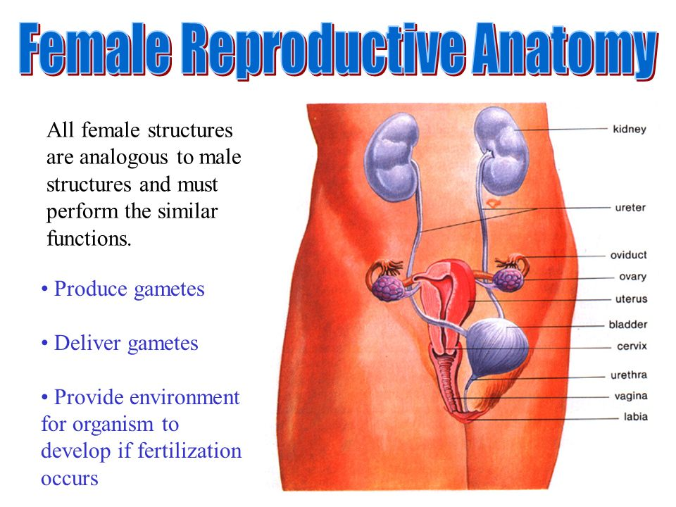 Female Reproductive Anatomy Ppt Video Online Download
