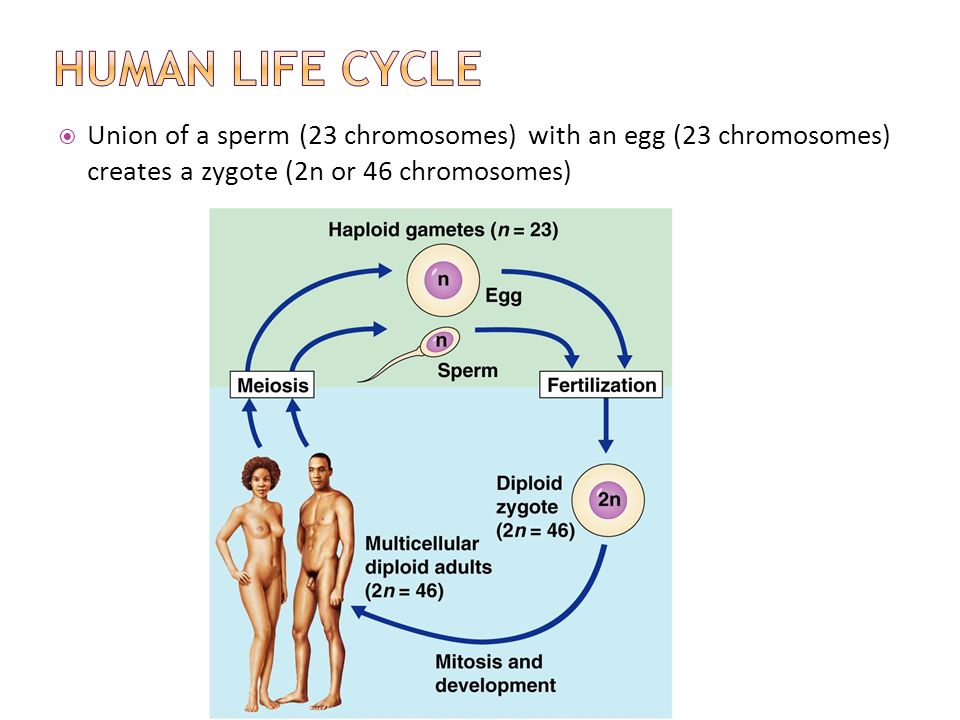 Human sperm lifecycle