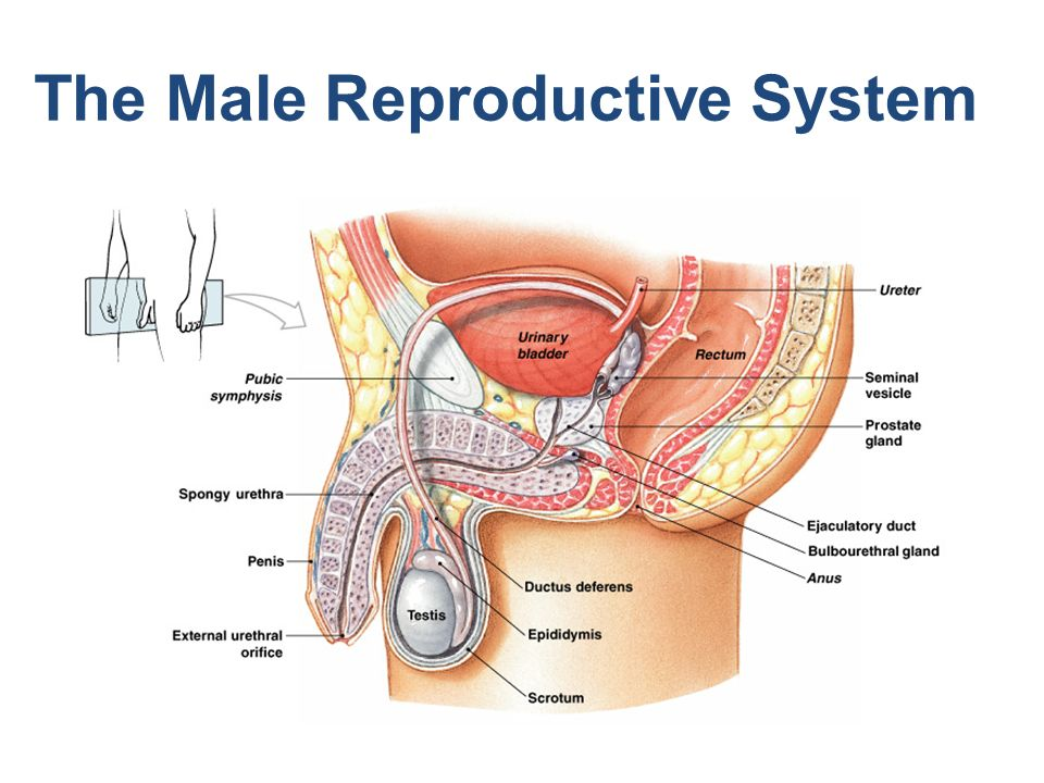 discuss the male reproductive system