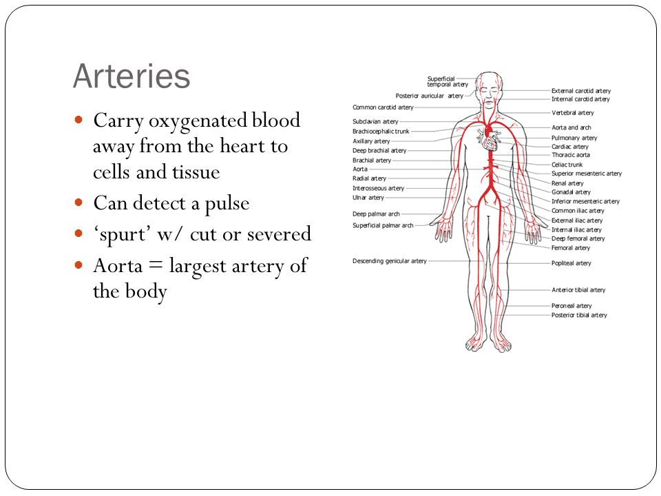 Arteries Carry oxygenated blood away from the heart to cells and tissue. Can detect a pulse. 'spurt' w/ cut or severed.