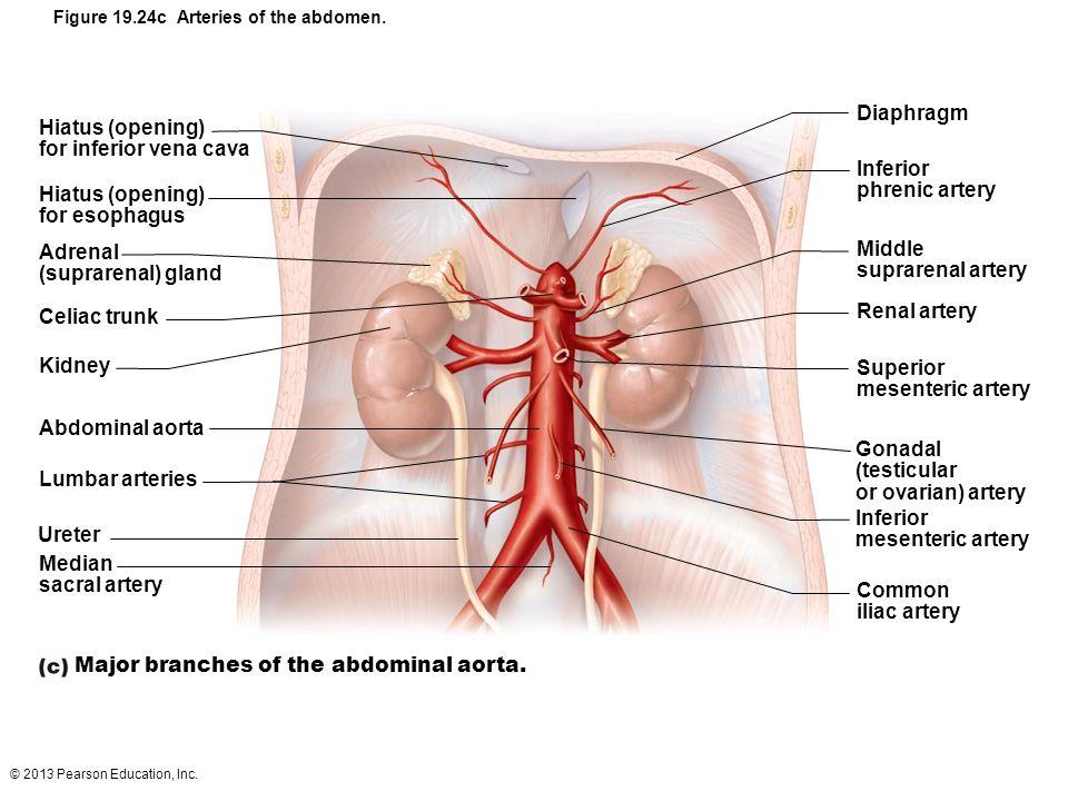 Major branches of the abdominal aorta.