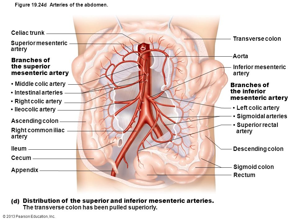Distribution of the superior and inferior mesenteric arteries.