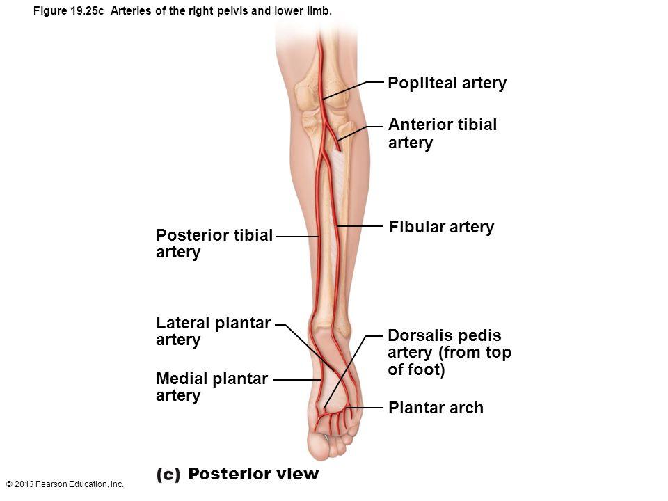 Popliteal artery Anterior tibial artery Fibular artery