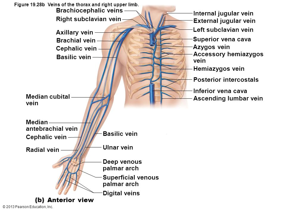 Brachiocephalic veins Internal jugular vein Right subclavian vein