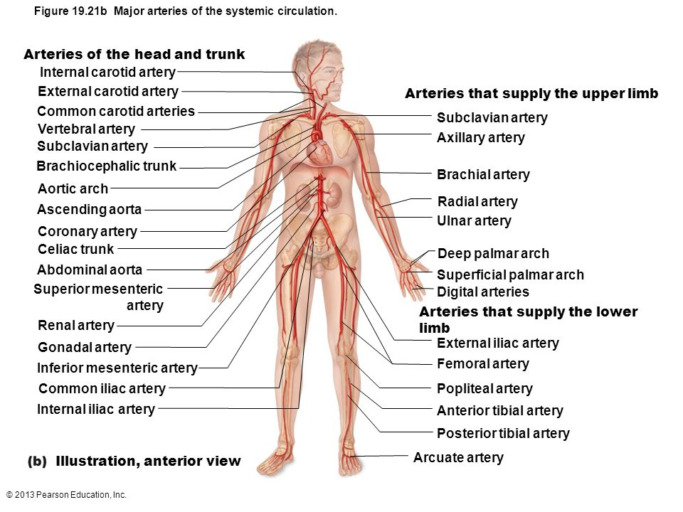 Arteries of the head and trunk Internal carotid artery